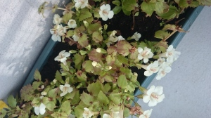 Ce mimulus était sur le point de mourir il y a une semaine. Aujourd'hui il est en fleurs et plein de jeunes pousses.